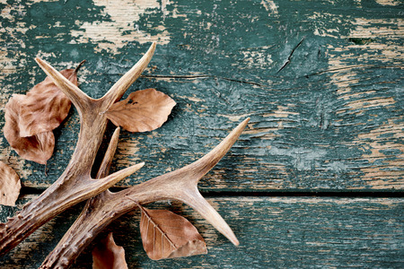 A pair of stag antlers with fallen brown winter leaves on a rustic timber background and flaking paint.