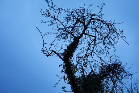 Leafless tree with intertwined tangled branches and a creeper growing up the trunk silhouetted against a blue twilight sky in winter with copy space