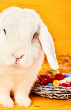 Little white lop eared Easter bunny sitting looking curiously at the camera with a woven basket of colorful eggs alongside on a yellow background for a happy Easter celebration