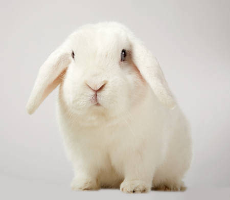 Cute little fluffy white lop eared bunny rabbit sitting looking at the camera on a white background symbolic of Easter and the spring season
