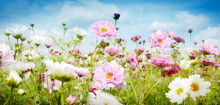 Hübsche Frühlingsfahne mit dem Wachsen der rosa und weißen Blumen in einer Wiese unter einem bewölkten blauen Himmel in einem Abschluss des niedrigen Winkels herauf Ansicht