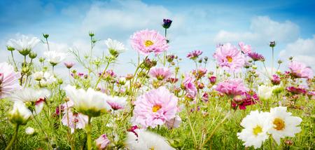 Mooie de lentebanner met roze en witte bloemen die in een weide onder een bewolkte blauwe hemel in een lage hoek dichte omhooggaande mening groeien