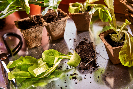 Potting up or transplanting spring seedlings with fresh young green plants in loose soil and cardboard nursery containers on a reflective surface in a close up view
