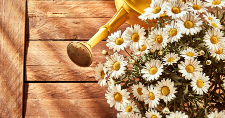 Bouquet of chamomiles and garden watering can viewed from above over wooden board background