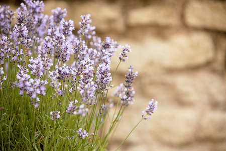 Lavender flowers outdoors in close-up against blurred stone wall with copy space