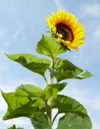 Bright yellow sunflower, Helianthus annuus, and green leaves in the sunlight outdoors against a blue sky cultivated for their oil rich seeds Banco de Imagens