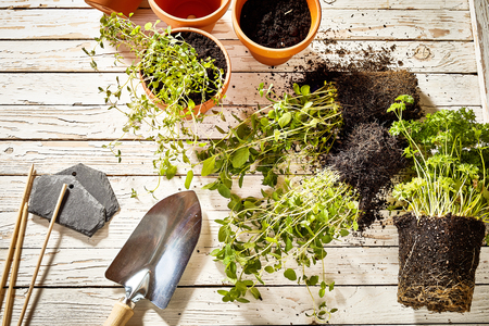 Gardening theme of transplanting flowers from pots using tools Reklamní fotografie