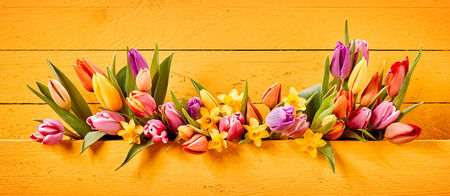 Easter or Spring banner with colorful fresh tulips and yellow daffodil or narcissus flowers on a bright yellow wooden background arranged in a center line Stock Photo