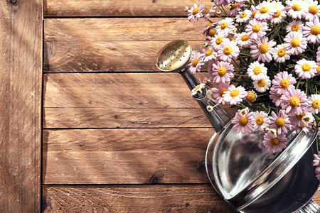 Spring border with fresh pink daisies in a pot and metal watering can on a rustic wood background with copy space viewed from overhead Imagens