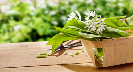 Freshly picked wild garlic leaves and flowers for the kitchen in a small wooden punnet on a garden table outdoors with copy space Banco de Imagens