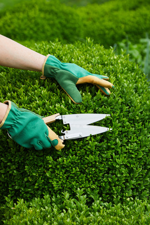 Hands of a gardener pruning back an boxtree privet hedge during spring using a large pair of shears