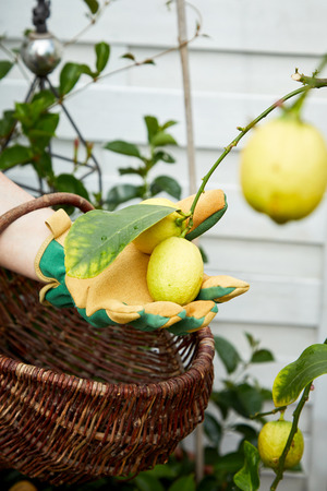 Gardener picking ripe yellow lemons holding one in a gloved hand in a spring garden or farm orchard 스톡 콘텐츠 - 102310694