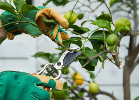 Gardener pruning a young lemon tree in spring using pruning shears or secateurs with ripening fruit in a close up view of the hands and garden tool