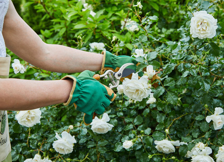 Woman picking fresh white roses on a bush in her garden during spring in a close up view of her hands and the pruning shears 스톡 콘텐츠