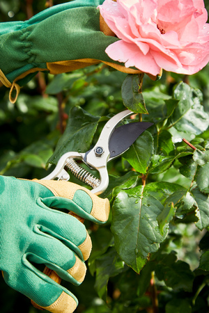 Gardener picking a pink rose on the bush in spring sunshine using secateurs in a closeup view of the hands