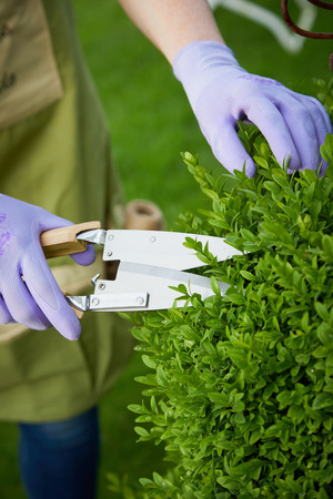 Woman pruning an ornamental privet hedge in a garden using a sharp pair of shears trimming back the spring growth of fresh leaves