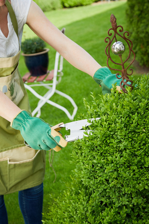 Woman gardener pruning back the spring growth on an ornamental privet plant in her garden using a large sharp pair of gardening shears