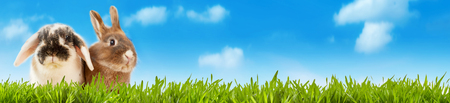 Wide panorama banner of two cute little bunny rabbits standing to the side in lush green grassy meadow under a blue sky with white fluffy clouds and copy space conceptual of Easter and spring 스톡 콘텐츠
