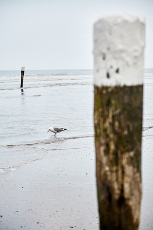 Seagull walking on beach near vertical wooden poles and searching for food on moody day 스톡 콘텐츠