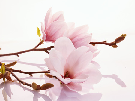 Pretty pink magnolia blossoms on a reflective white surface symbolic of the start of spring and the changing seasons 免版税图像