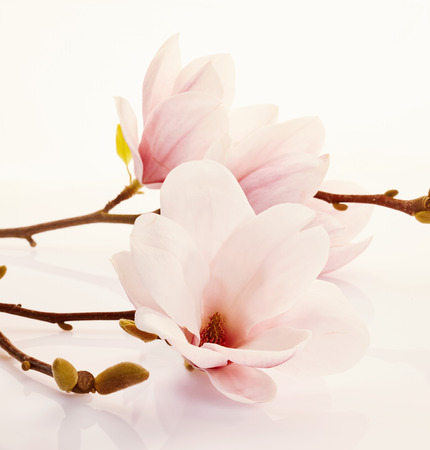 Fragrant fresh pink magnolia flowers symbolic of spring over a tinted white background with reflection in square format