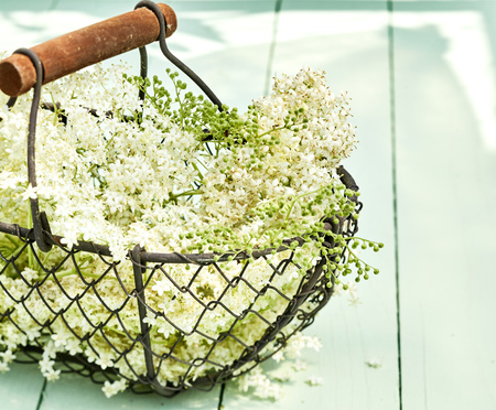 Wire basket filled with fresh white elderflowers a therapeutic herb used in alternative medicine for diabetes, sinusitis and as a diuretic Stock Photo