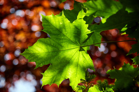 Dappled sunlight on a fresh green maple leaf in a garden detailing the structure and veins over red foliage