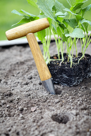 Transplanting nursery seedlings into a flowerbed in vegetable garden with a small augur with wooden handle