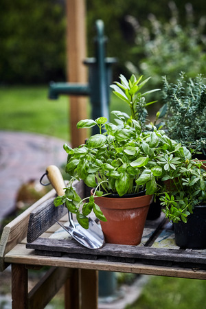 Pot of fresh basil on a garden table with rosemary and assorted aromatic herbs alongside a small trowel and garden tools outdoors in spring