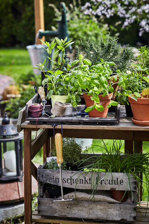 Assorted potted culinary herbs in a spring garden arranged on a rustic old table with vintage wine crate full of plants below