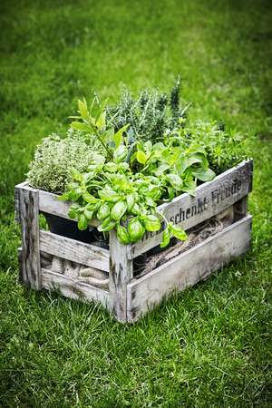 Old wooden wine crate filled with an assortment of fresh organic herbs growing in pots outdoors an a green grassy lawn in spring with vignette Imagens