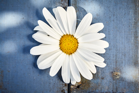 Single white marguerite daisy symbolic of spring on a rustic blue wood plank background viewed from above in close up Stok Fotoğraf