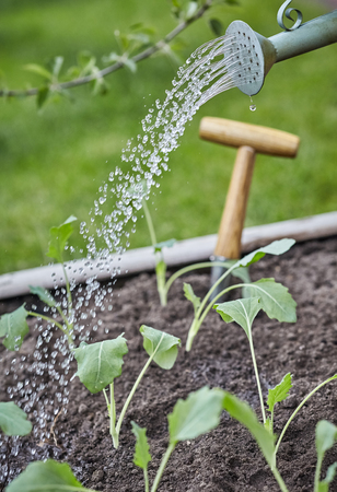 Gardener watering seedlings with a watering can in a close up view on the spout and spray of water droplets falling on the young spring plants