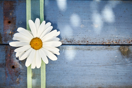 Single white marguerite daisy with green ribbon arranged as a border on rustic blue wood with copy space outdoors in dappled shade symbolic of spring Imagens
