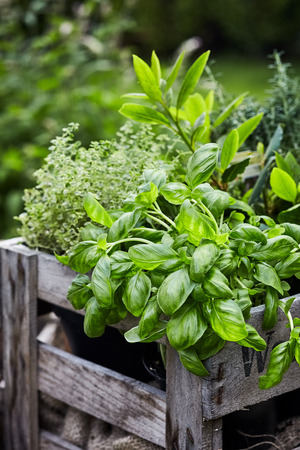 Fresh organic basil growing in a flowerpot inside an old vintage wooden crate outdoors in a spring garden in a close up vertical view