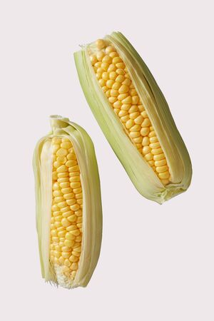 Two raw fresh sweet corn or corn on the cob with outer leaves ready to grill over a summer barbecue for a healthy vegetarian meal isolated on white