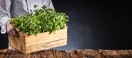 Chef or cook carrying fresh potted basil plants in a rustic wooden crate placing them on a kitchen table in a panorama banner with copy space