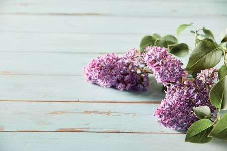 Three inflorescences of purple lilac blossom or syringa with fresh green leaves over rustic weathered blue wood with copy space conceptual of spring