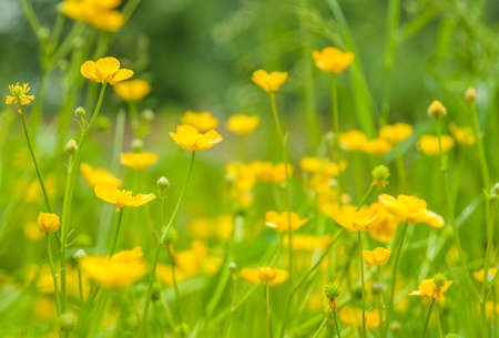 Buttercup yellow flowers in natural green grass - spring or summer in garden