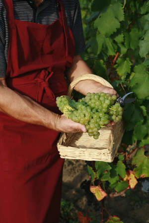 wine grower: Picking grapes