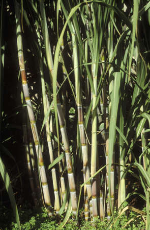 Sugar cane Stock Photo - 17026968