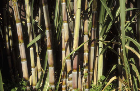 Sugar cane Stock Photo - 17026967