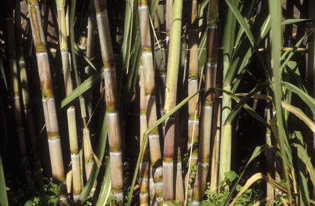 Sugar cane Stock Photo - 17026967