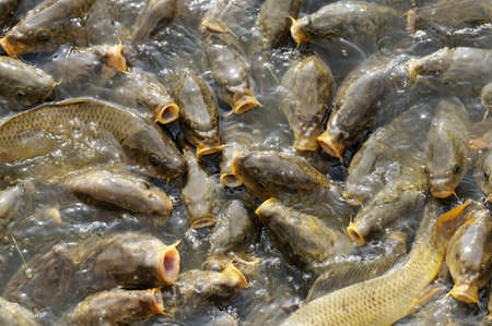 fish rearing: Breading carps