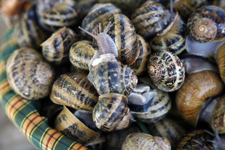 Basket of live snails Stock Photo - 17028024