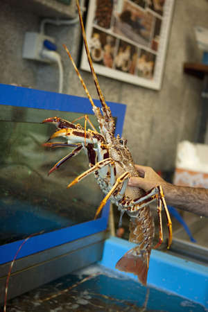 spiny lobster: Choosing a spiny lobster in the aquarium