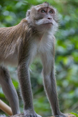 Monkey at Tiger Cave Temple, Wat Tham Sua, Krabi, Thailand, Asia
