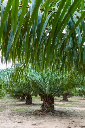 Oil palm (Elaeis guineensis), Krabi, Thailand, Asia Stock Photo