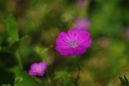 Cranesbill, Geranium sanguineum New Hampshire Purple