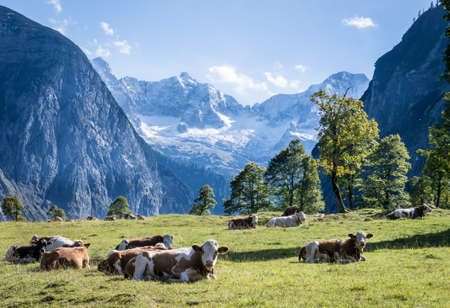 cows at the karwendel mountains in austria photo
